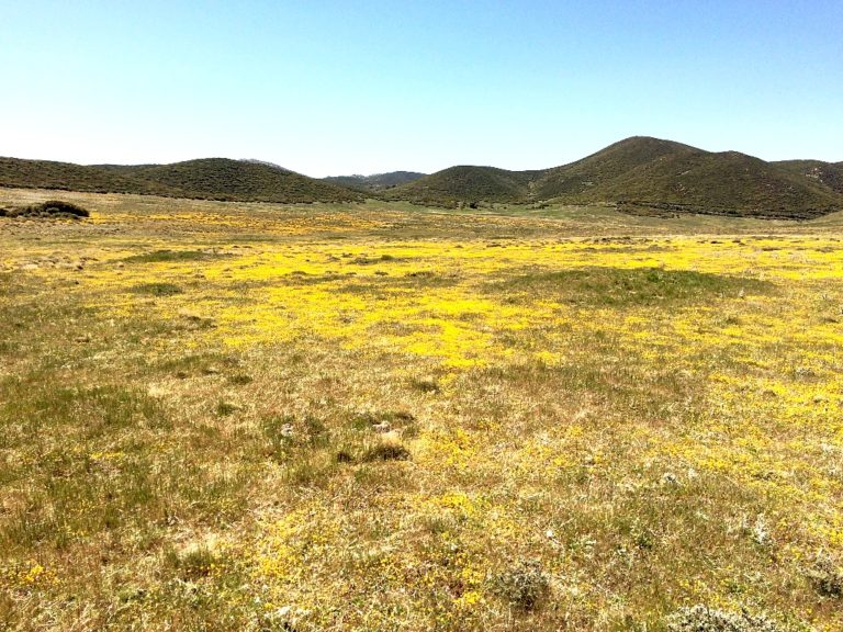 Fields of wildflowers before Pedro Fages Aid Station.